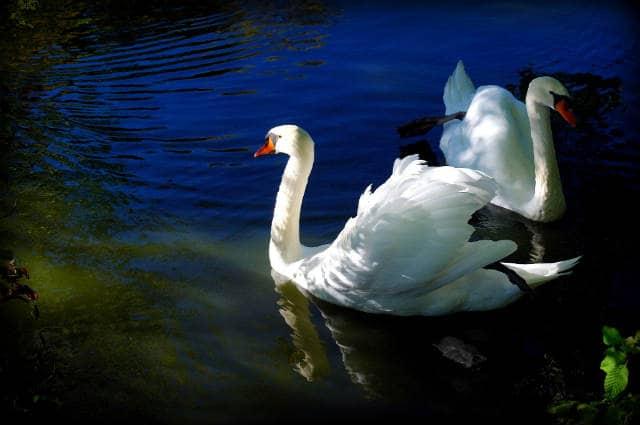 cisnes en la cueva del encanto