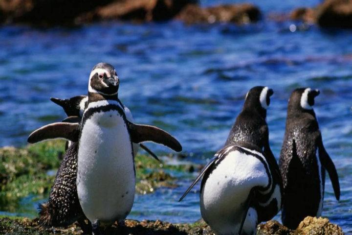Los-pingüinos-magallánes-en-Argentina.-Foto:-Maxres-5