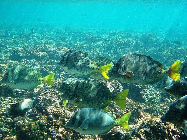 pez aleta amarilla