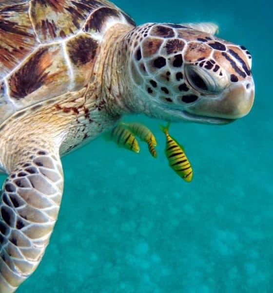 Histórico nacimiento de tortugas golfinas en Sonora