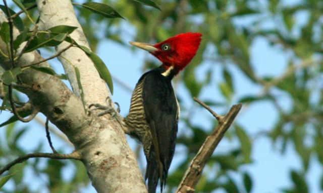 Pájaro carpintero. Foto: Archivo