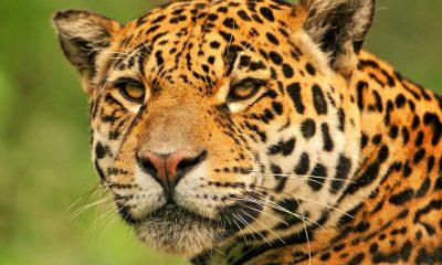 meseta cacaxtla jaguar