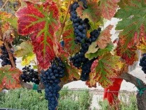 dolores hidalgo uvas