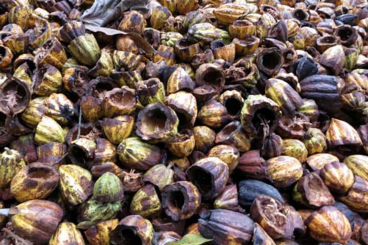 Cacao.Foto.Angélica Portales.12