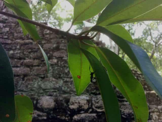 Calakmul hormiga