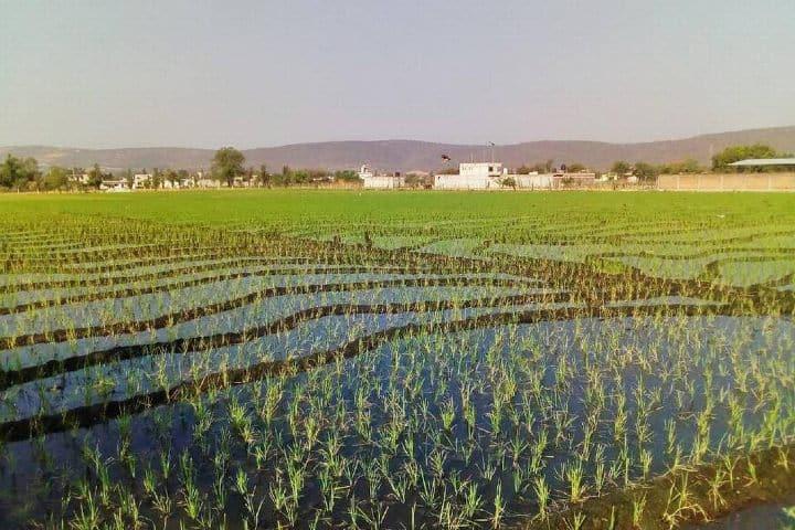 Duplicarán siembra de arroz en Morelos