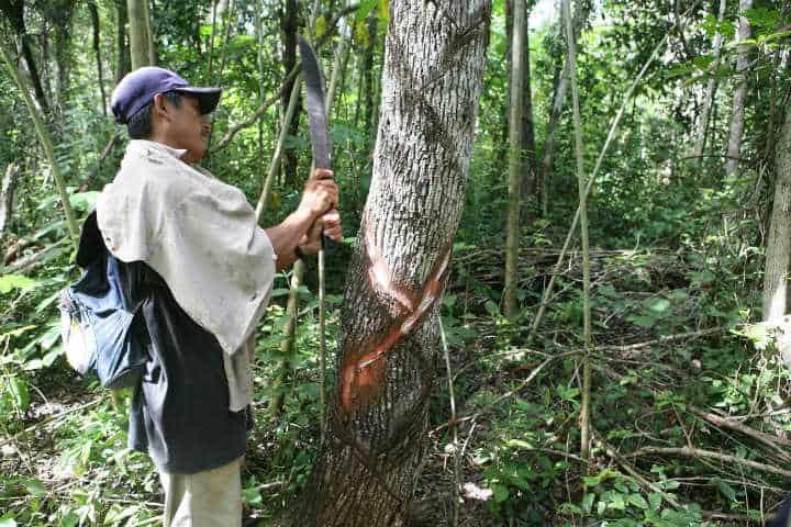 El chicle de origen maya.Foto.Tierra fertil