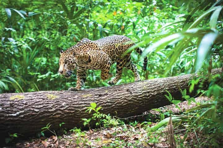 Fauna de Calakmul.Foto.Campeche al día.4