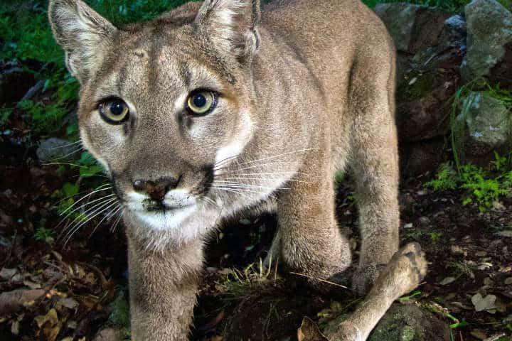 Puma.Foto.Animal Clic.12