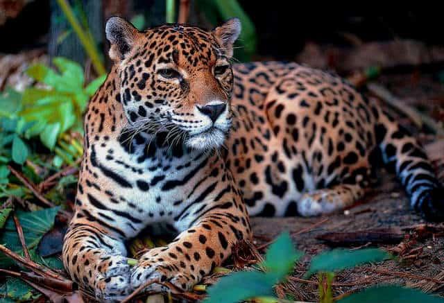 calakmul jaguar