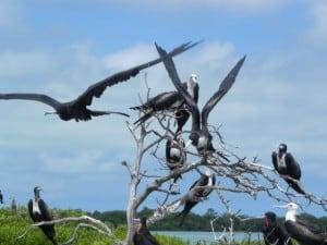 laguna de terminos cormoran