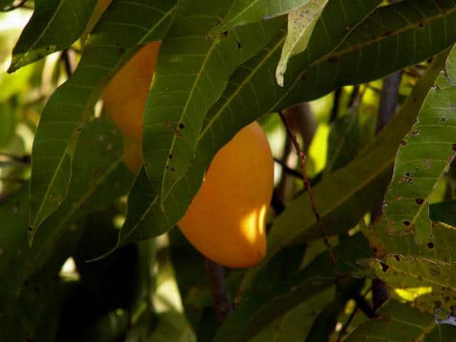 mango ataulfo chiapas