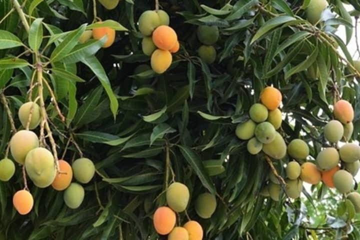 mango-de-Colima-1