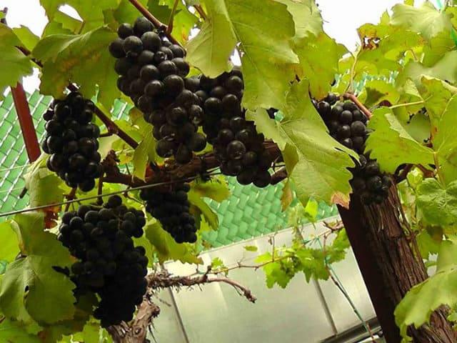 vinicola urbana uvas