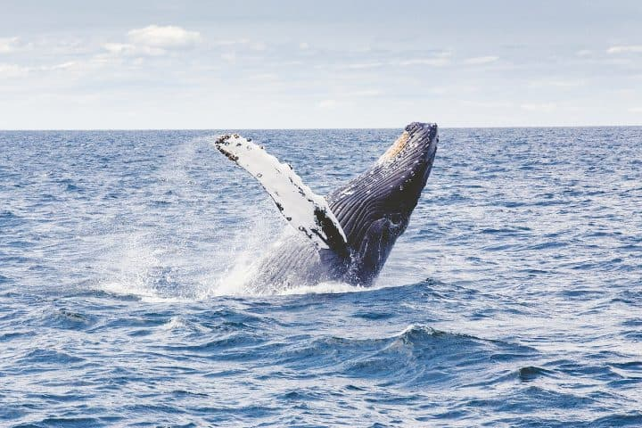 Bucear con ballenas. Foto: Free-Photos