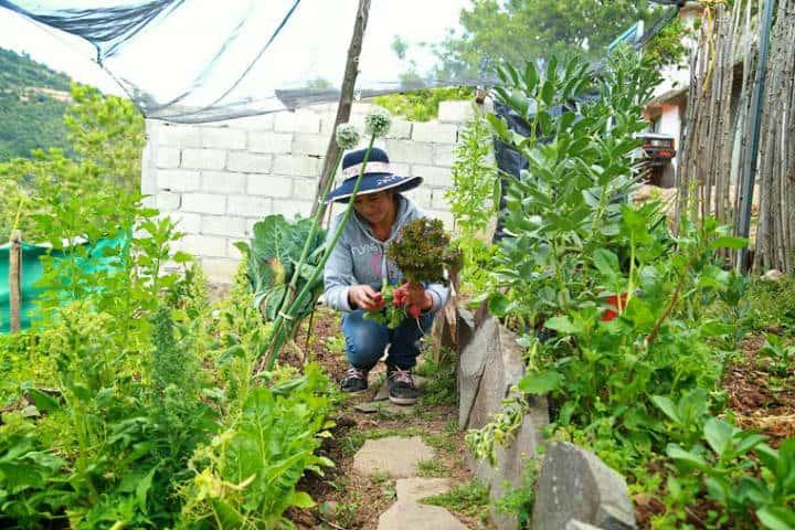 Cosechando hortalizas orgánicas. Foto: Archivo