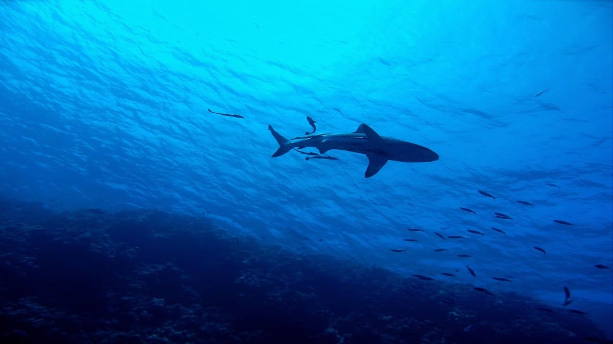Tiburón blanco. Foto: bluegroper