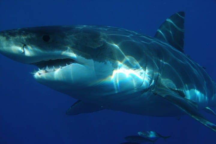 Video de tiburón. Foto: skeeze