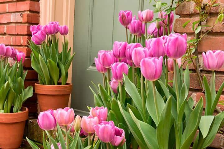 como-cuidar-tulipanes-macetas-casa