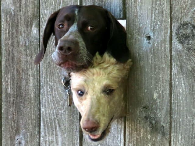 tindog enamorados