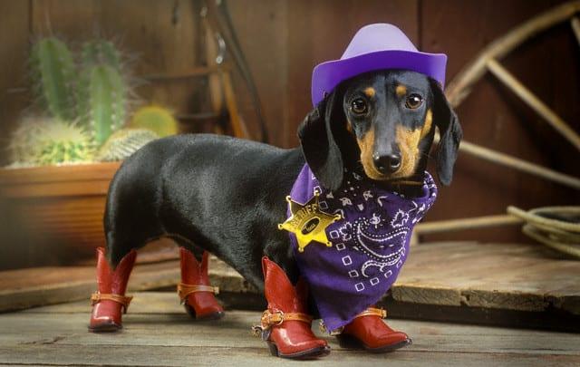 tindog vaquero