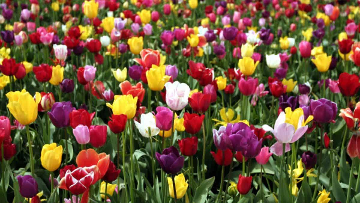 tulip_garden_theme