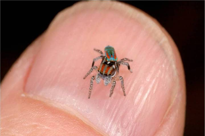 Araña pavo real. Australia. Imagen: Naturaleza