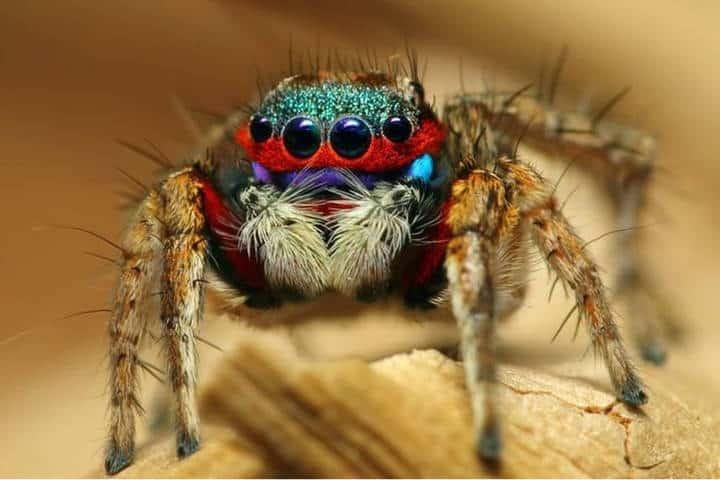 Araña pavo real. Australia. Imagen: Pinterest