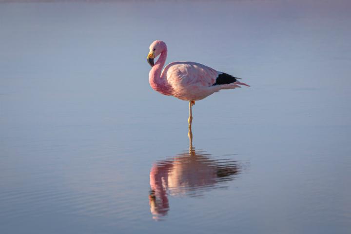 Lo más común es ver a los flamencos rosados representados parados sobre una pata Foto Chris Stenger
