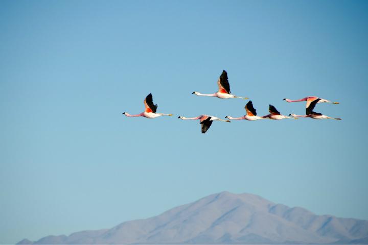 Observa su vuelo en busca de alimento Foto Shwetha Shankar