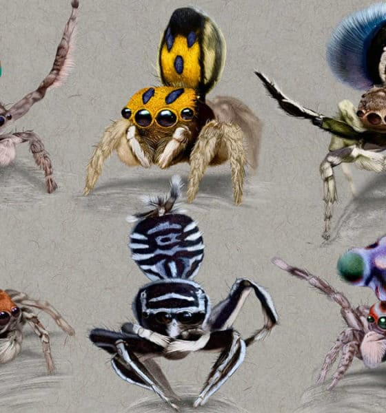 Portada Araña pavo real. Australia. Imagen: Ilustra ciencia