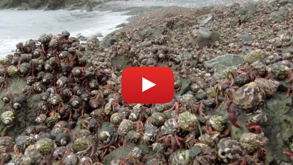 Fiesta de cangrejos ermitaños en migración
