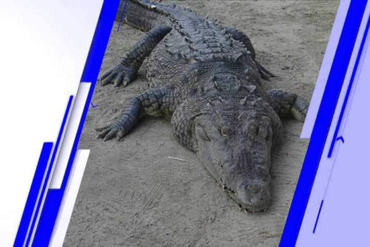 UMA el caiman. Imagen: Chiapas. Archivo