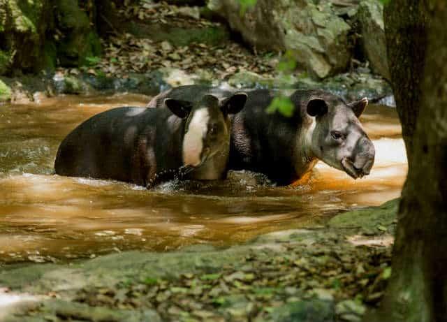zoomat tapires