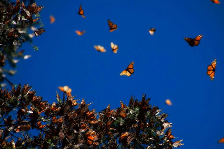 temporada mariposa monarca Michoacán