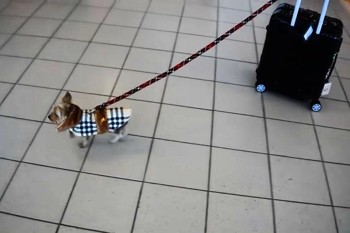 Video perro arrastra maleta