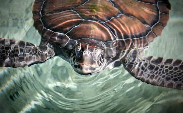 Xcaret 14 tortugas marinas