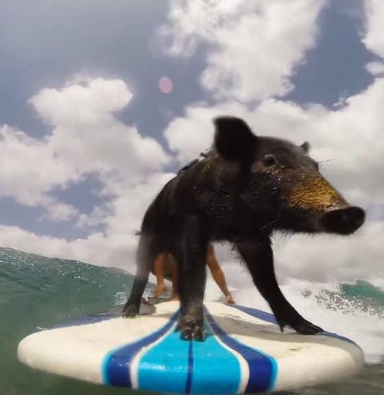 cerdito surfista