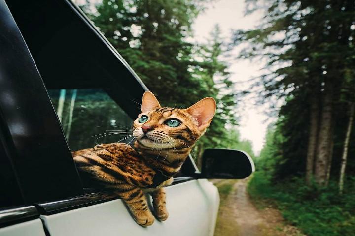 La-mejor-experiencia-para-tu-gato-en-auto.-Foto:-Lippy-3