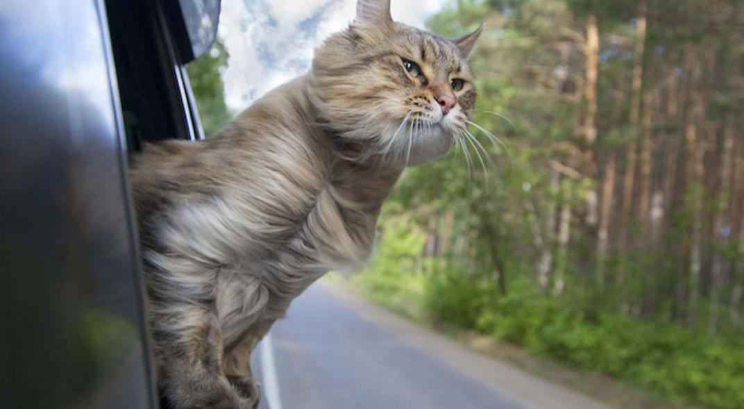 viaje_en_auto_con_gatos