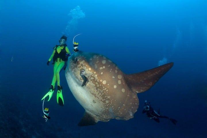 El-gigante-pez-mola-mola-es-majestuoso-cuand-lo-ves-Foto-Greenlane-2
