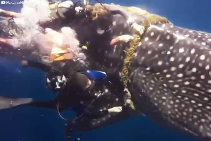 _Video Buzo libera a tiburón ballena