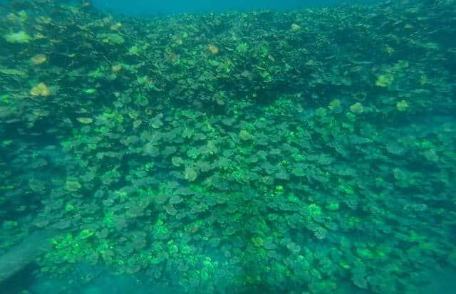 laguna media luna buceo lirios acuaticos