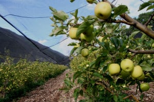 manzana arteaga
