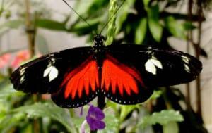 mariposario chapultepec Helicobius doris