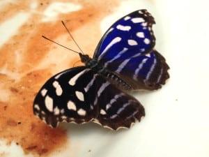 mariposario chapultepec azul real