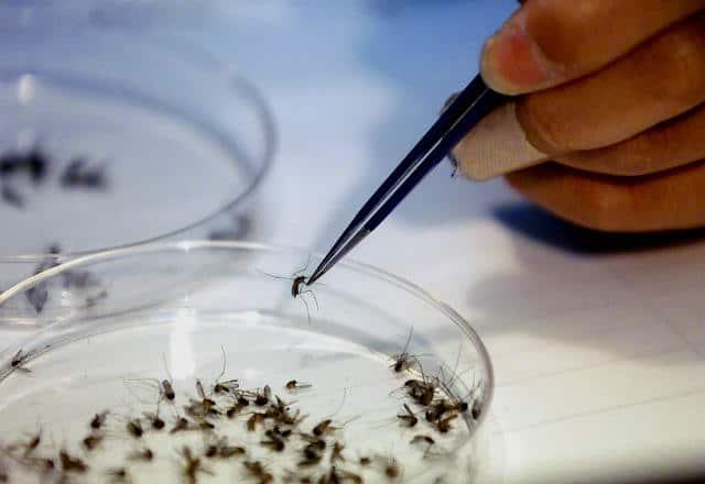 mosquitos virus dengue 01