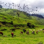valle del cocora vacas
