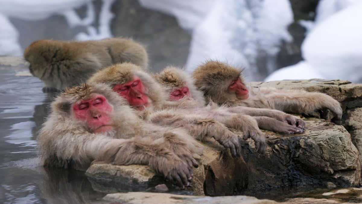 Monos-japoneses-se-relajan-Foto-Efetur-1