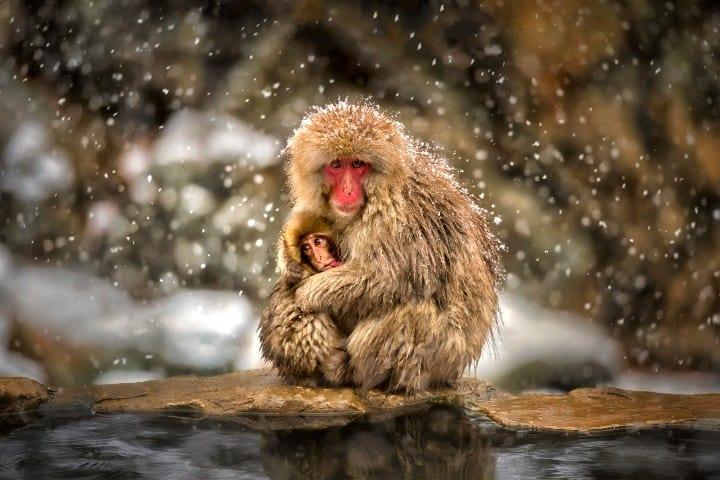 Monos-japoneses-relajados-de-todas-las-edades-Foto-Alpha-Coders-3